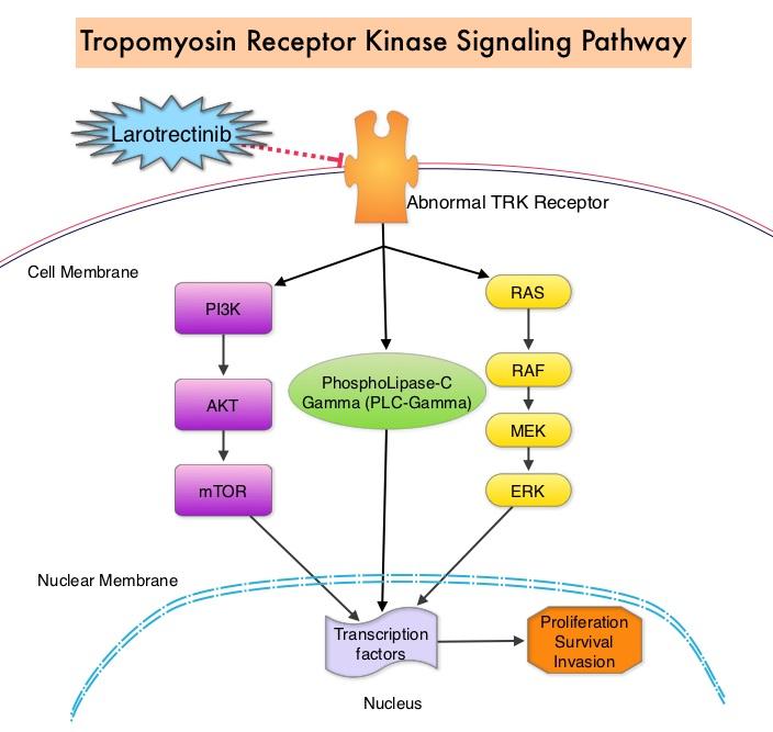 Tropomyosin-Receptor-Kinase-Signaling-Pathway