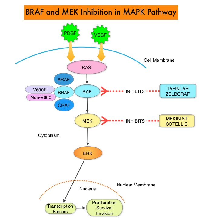 BRAF-and-MEK-Inhibition-in-MAPK-Pathway