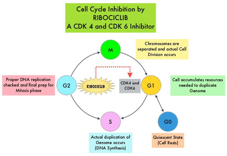 Cell-Cycle-Inhibition-by-RIBOCICLIB-A-CDK4-and-CDK6-Inhibitor