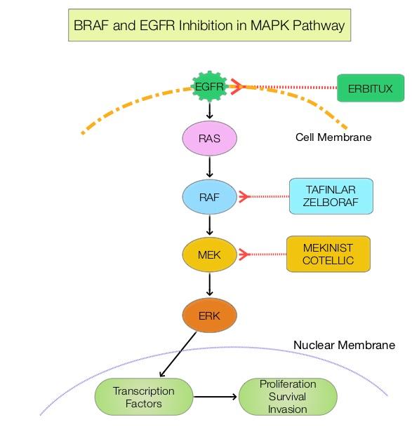 BRAF-and-EGFR-Inhibition-in-MAPK-Pathway
