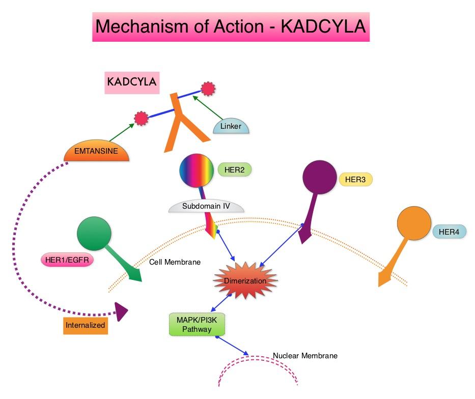Mechanism-of-Action - KADCYLA