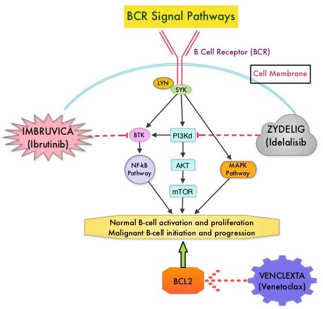 BCR-Signal-Pathways