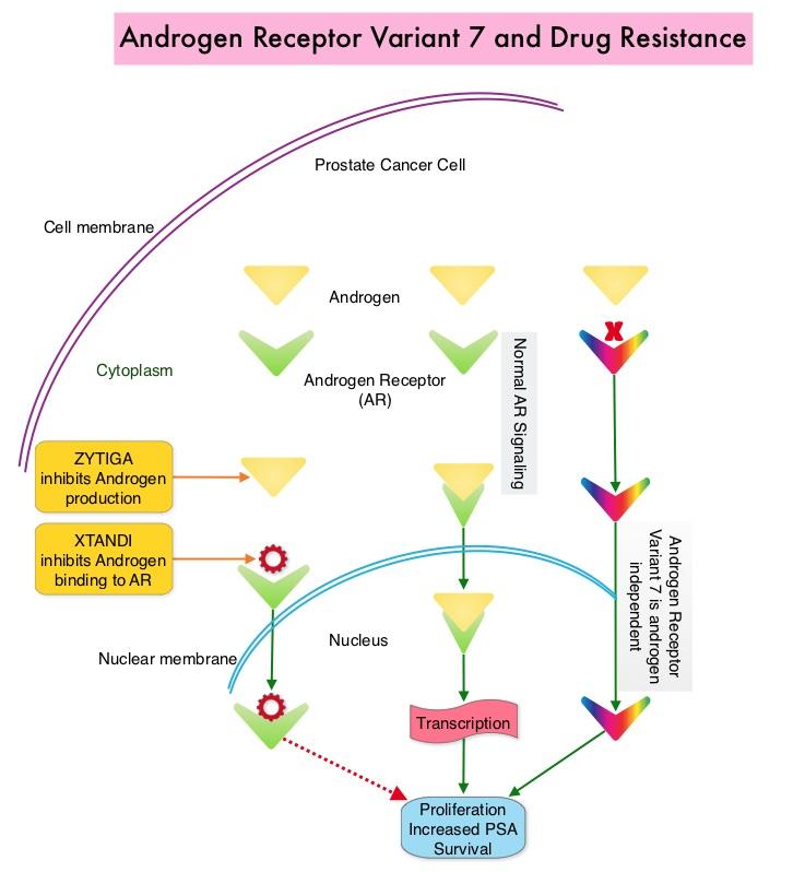 Androgen-Receptor-Variant-7-and-Drug-Resistance