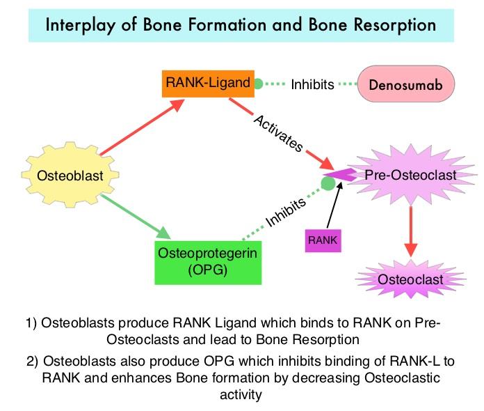 Interplay-of-Bone-Formation-and-Bone-Resorption