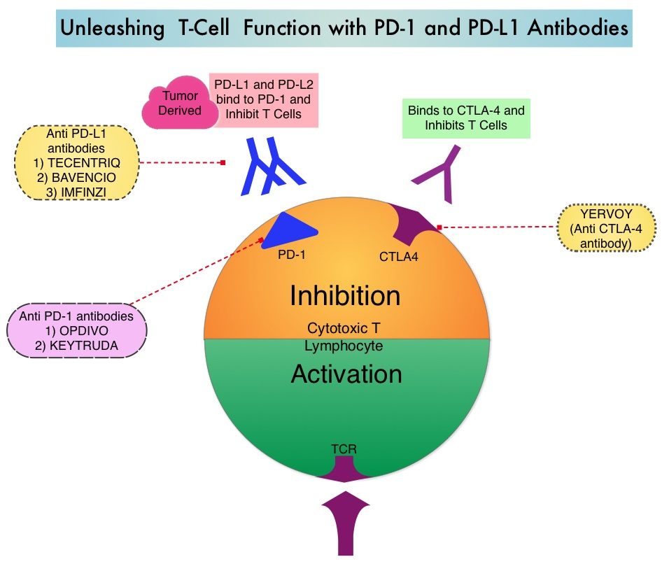 Unleashing-T-Cell-Function-with-PD1-and-PDL1-Antibodies