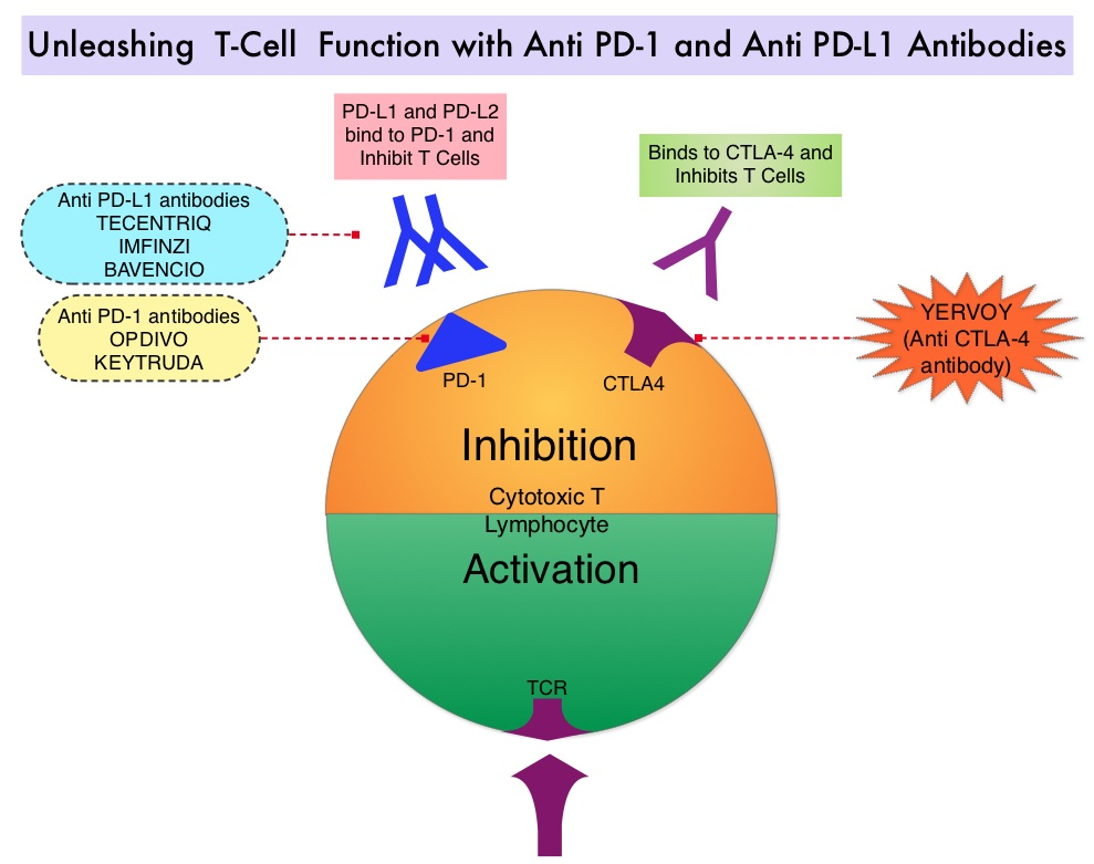 Unleashing-T-Cell-Function-with-Anti-PD-1-and-Anti-PD-L1-Antibodies