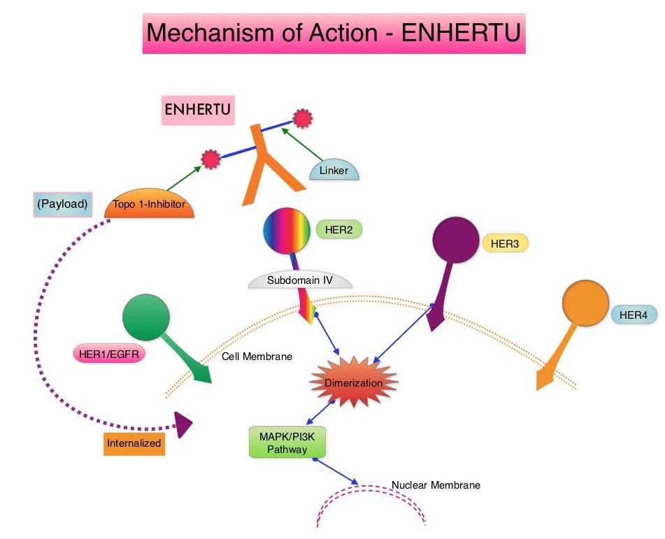 Mechanism-of-Action - ENHERTU