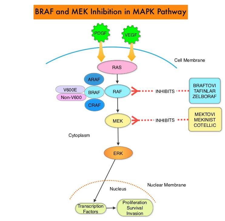 BRAF-MEK-Inhibition-in-MAPK-Pathway