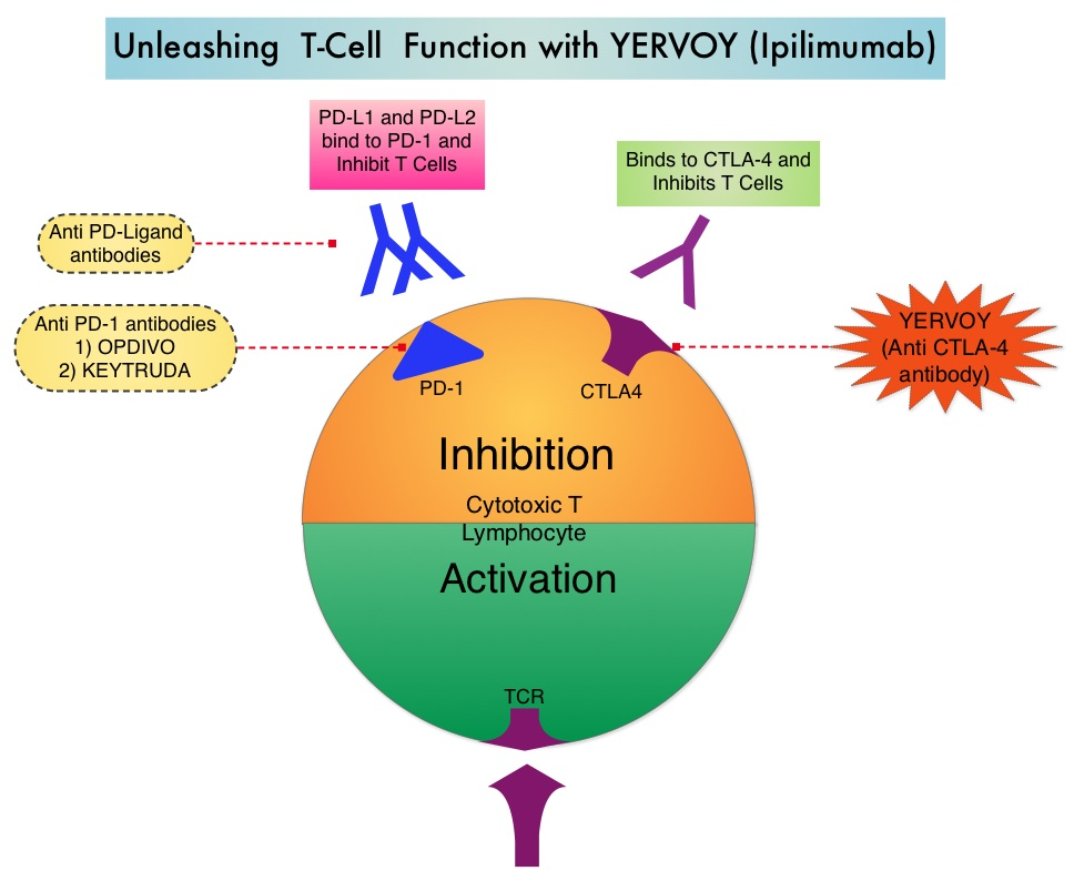Unleashing-T-Cell-Function-with-YERVOY-(Ipilimumab)