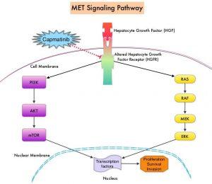 MET-Signaling-Pathway