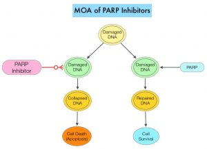 MOA-of-PARP-Inhibitors