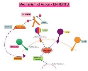Mechanism-of-Action-ENHERTU