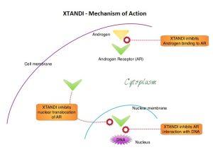 XTANDI-Mechanism-of-Action