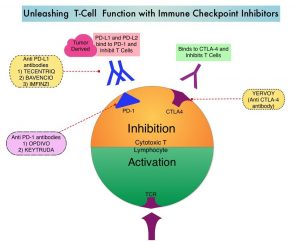 Unleashing-T-Cell-Function-with-Immune-Checkpoint-Inhibitors