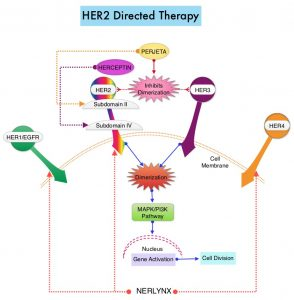 HER2-Directed-Therapy