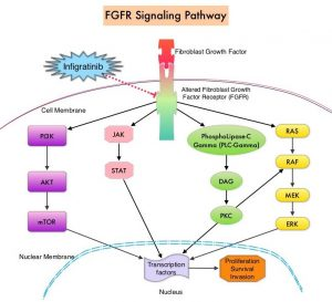FGFR-Signaling-Pathway