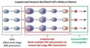 Luspartercept-Restores-Red-Blood-Cell's-Ability-to-Mature